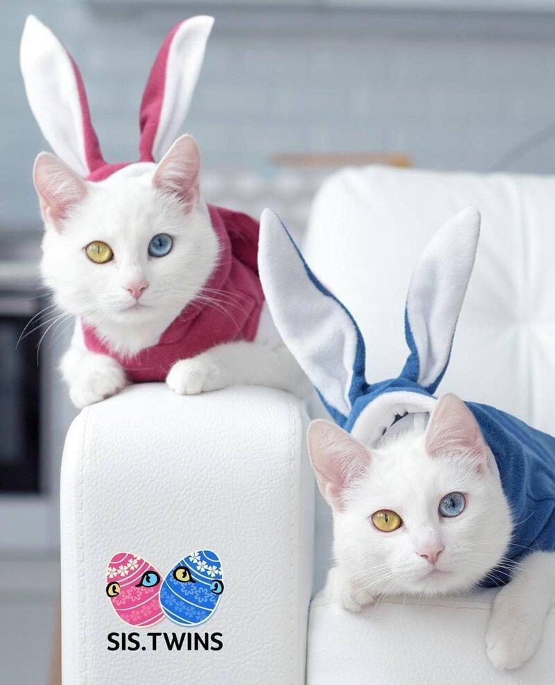 Павел иногда наряжает их в причудливые костюмчики Абисс, Айрис, глаза, кошка, красота, окрас