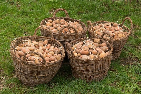 Можно ли сажать картошку своими семенами