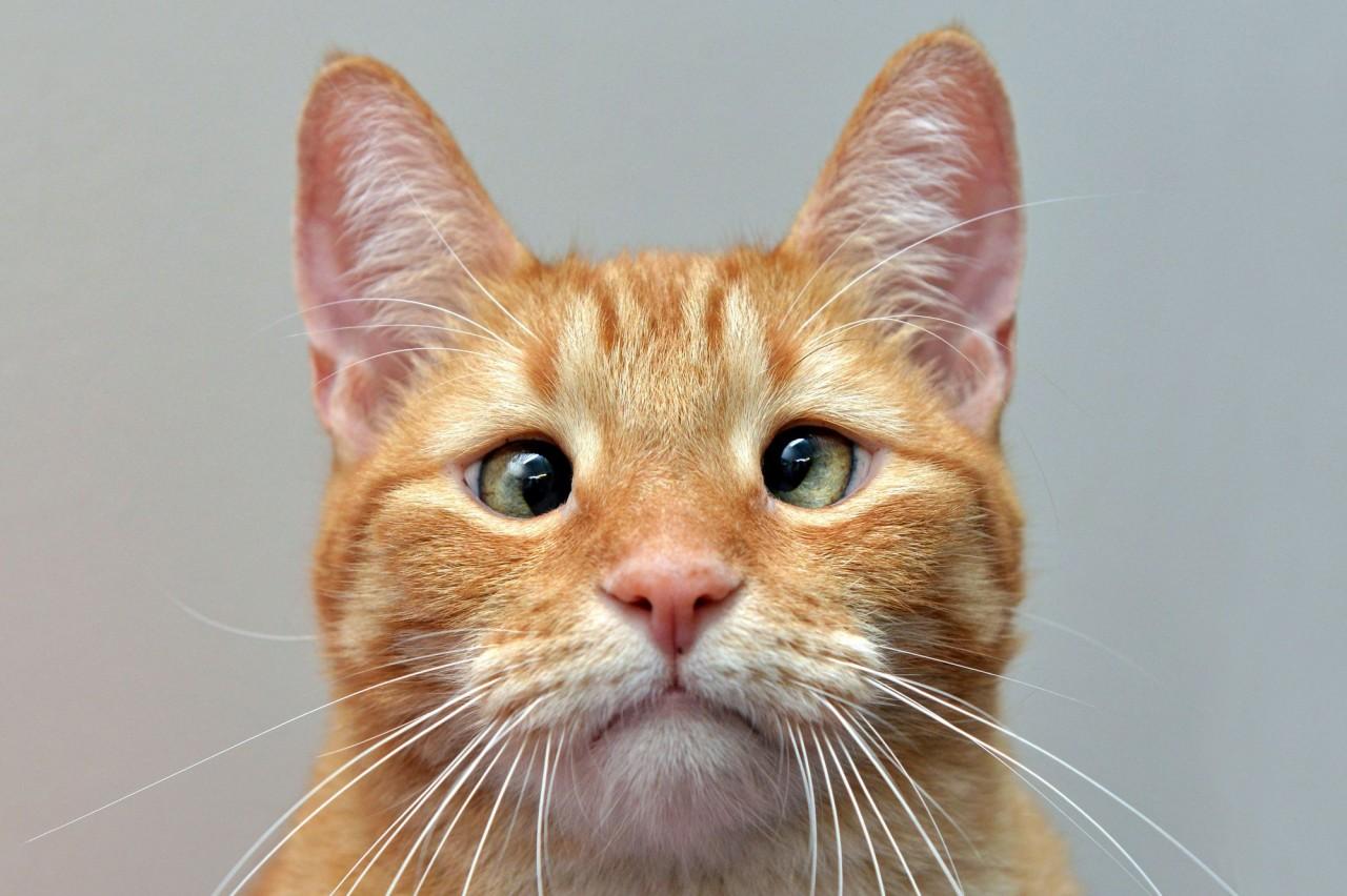 Косоглазому коту ищут хозяина в Новосибирске