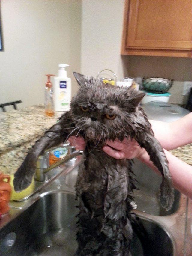 Эти кошки после купания явно не простят своим хозяевам домашние животные,наши любимцы