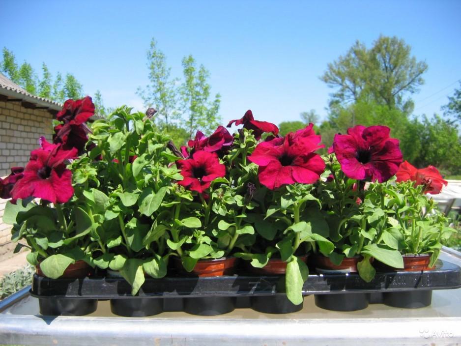 Как вырастить семена петунии в домашних условиях 98