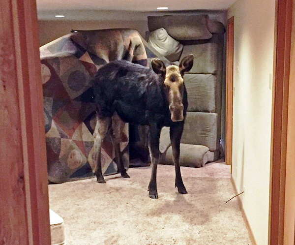 The moose that fell through a window into a family's basement bedroom