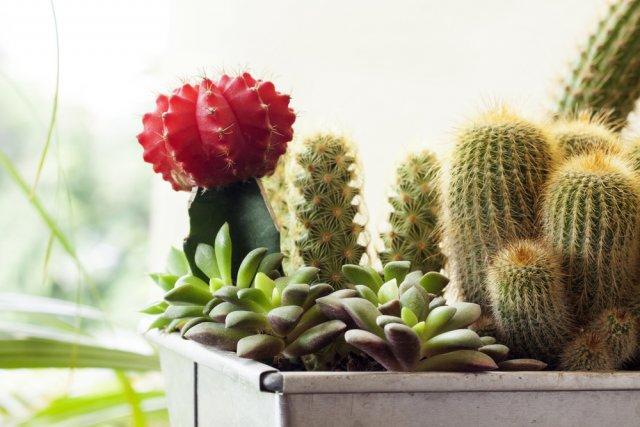 Коллекция кактусов: как начать и не потерять комнатные растения,цветоводство