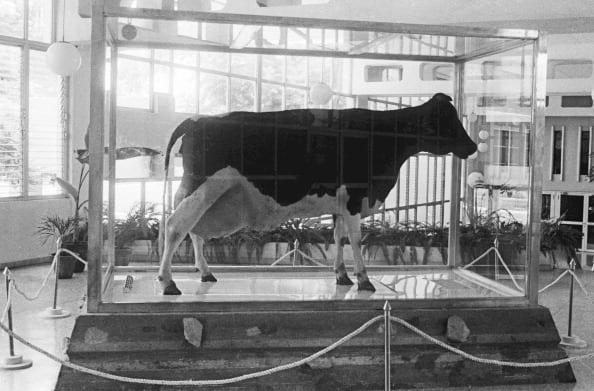 Как Фидель Кастро свихнулся на мороженом и пытался вывести коров размером с собаку