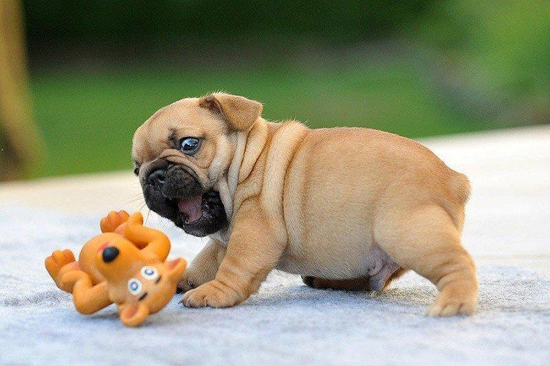 Эти невероятно милые щенки бульдогов поднимут настроение на целый день!