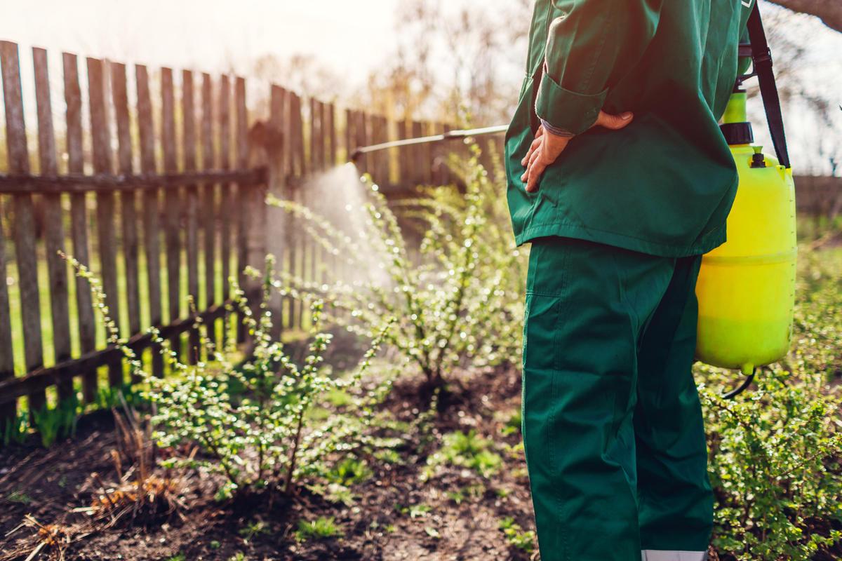 Как избавиться от тли на смородине дача,полезные советы,сад и огород