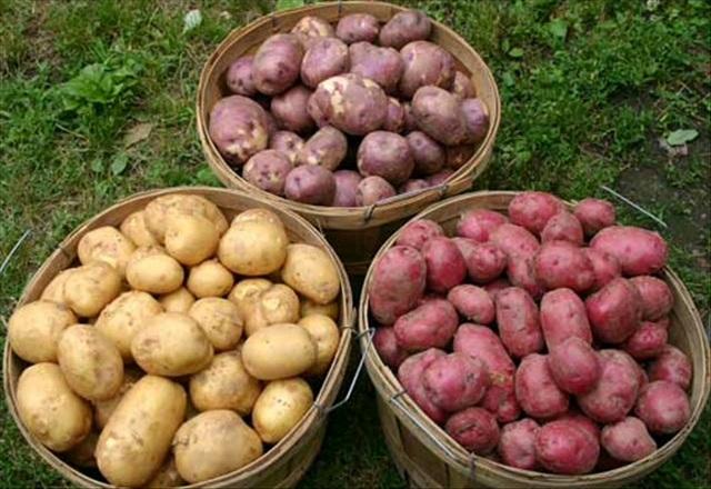 Сорта картофеля, которые колорадский жук обходит стороной