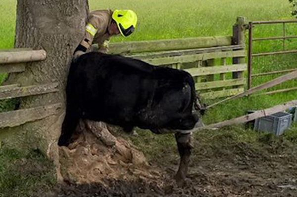 A cow is found stuck in the trunk of a tree