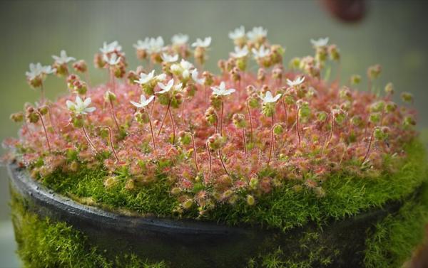 Цветущие росянки. Все-таки очень милое растение, хоть и хищное.