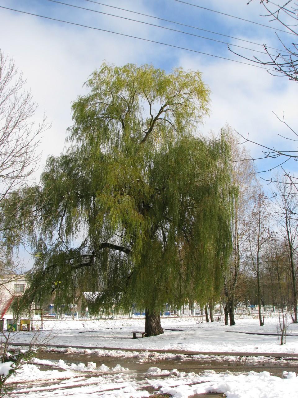 Осенние картинки: снег и зеленая листва