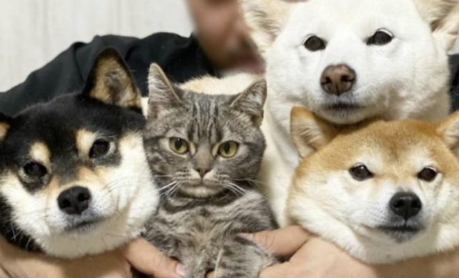 Японская кошка выросла дома с собаками и теперь думает, что она шиба-ину Культура
