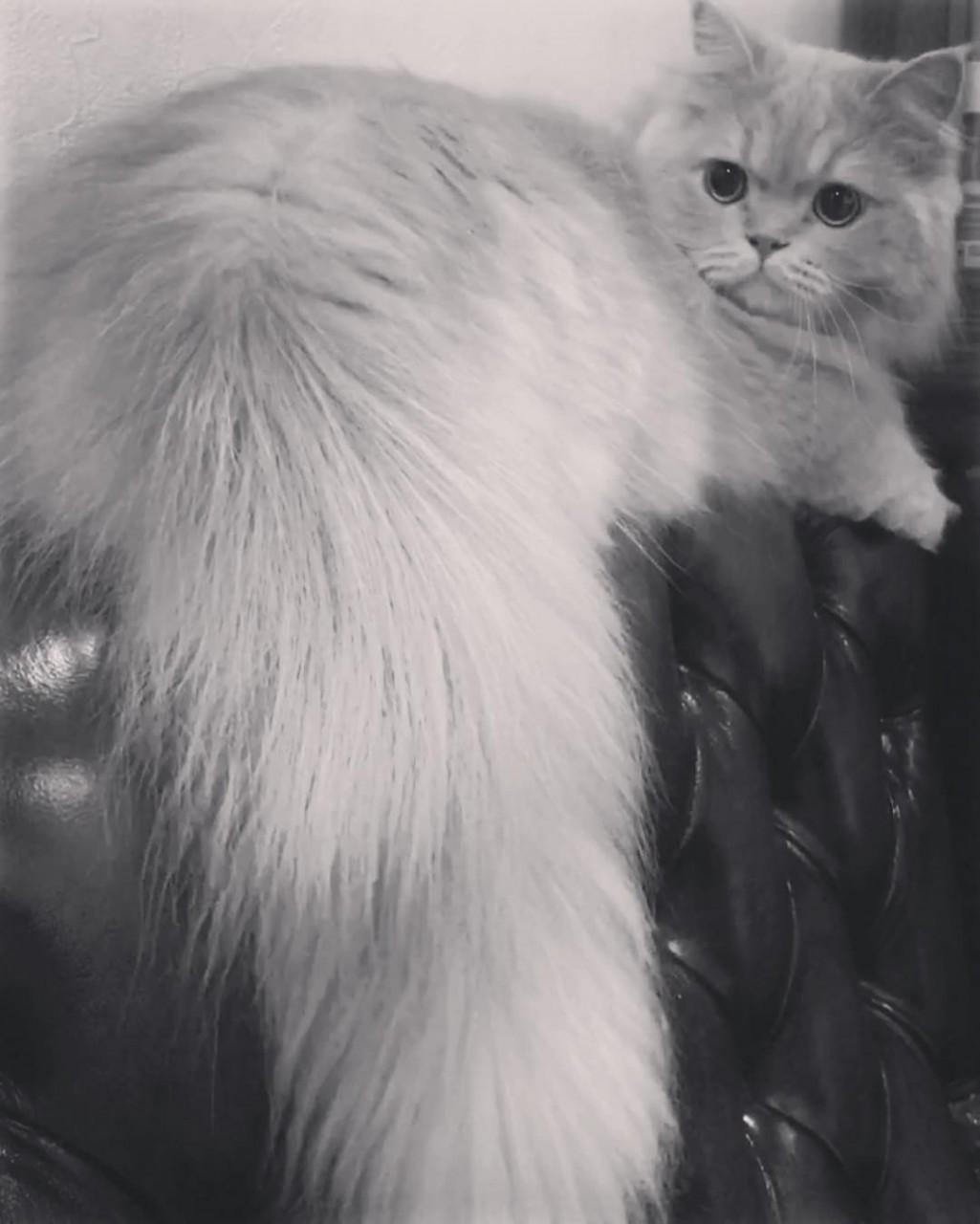 пушистый хвост кота картинка нашей