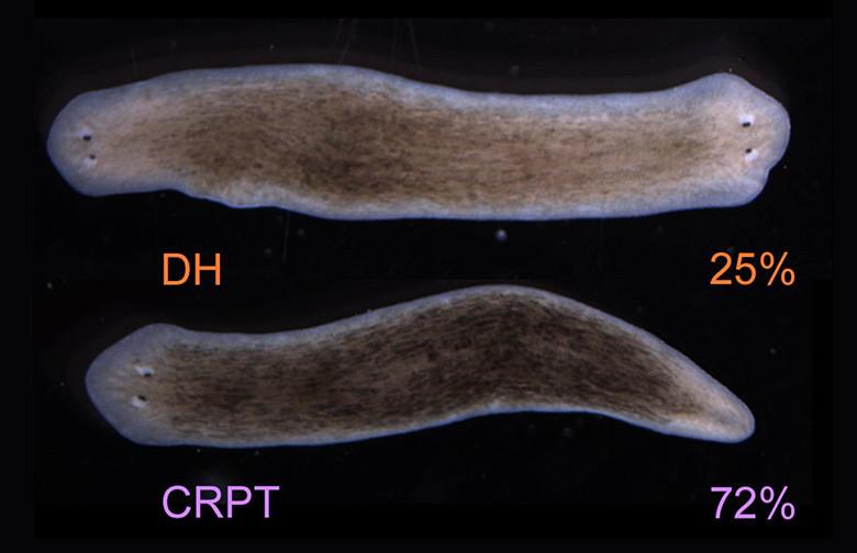 Американские биологи заставили червей отрастить вторую голову вместо хвоста