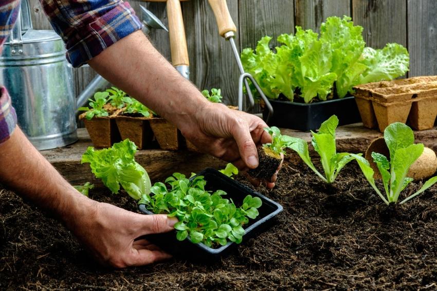 При планировании грядок стоит учесть, что растения-компаньоны дают больший урожай, если они высажены рядом