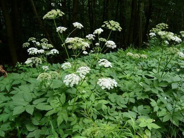 Сныть: обзор лечебных свойств целебного растения болезни