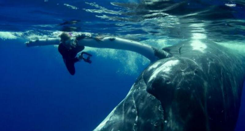 22-тонный кит спас дайвершу от акулы, спрятав ее под плавником