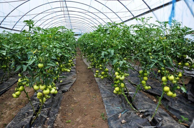Все тонкости выращивания домашних помидоров выращиваем помидоры