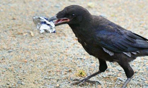 ТОП-10: Удивительные способности ворон, о которых знают далеко не все