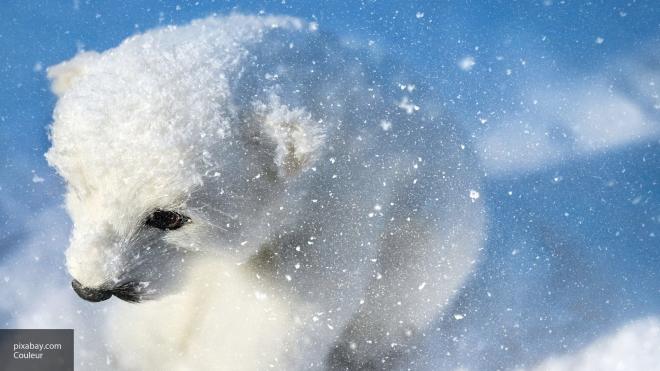 Жители Чукотки спасли беззащитного медвежонка-сироту
