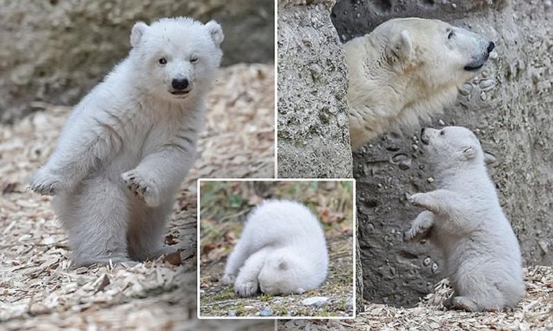 Белый медвежонок в зоопарке Мюнхена делает первые шаги