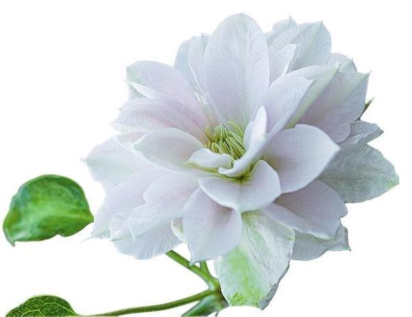Клематис в вашем саду, или Да здравствует король! дача,сад и огород,цветоводство