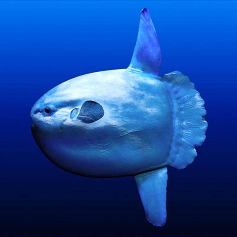Луна-рыба – самая крупная из костистых рыб