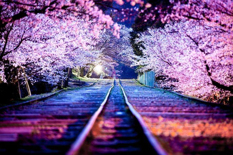 Цветение сакуры в Японии на фото