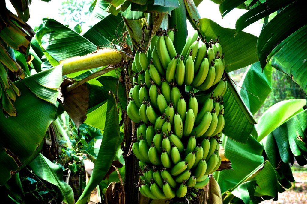 Как растет банан грозди фото