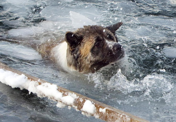 Новосиирские спасатели МАСС спасли собаку на льдине.