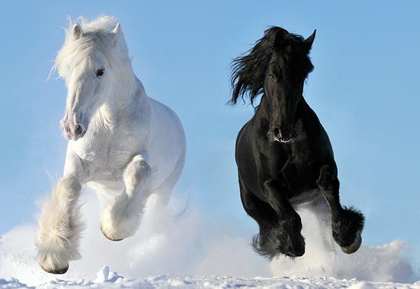 Шикарные лошади породы шайр  ещё и самые большие в мире ( + ВИДЕО)