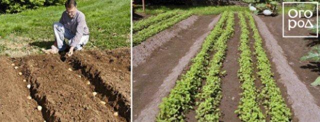 12 способов посадки картофеля: традиционные и новые идеи