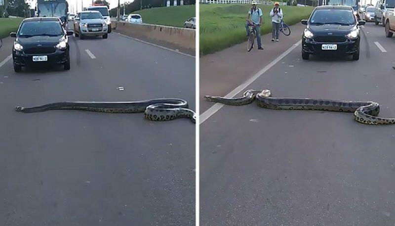 В Бразилии случайные люди объединились, чтобы помочь анаконде пересечь проезжую часть анаконда, бразилия, в мире, видео, добро, змея, люди, помощь