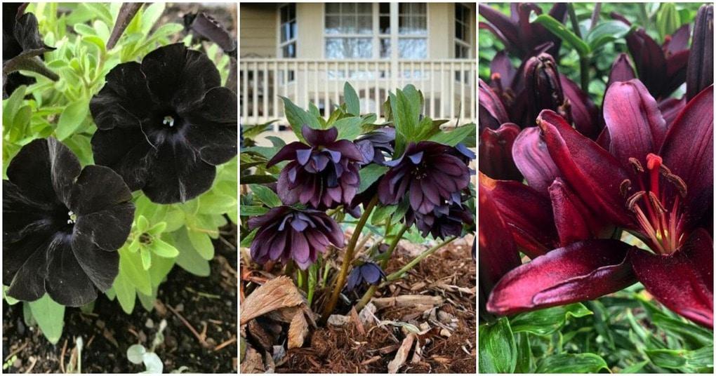 Растения с темными цветами и листьями. Они помогут создать уникальную атмосферу в саду