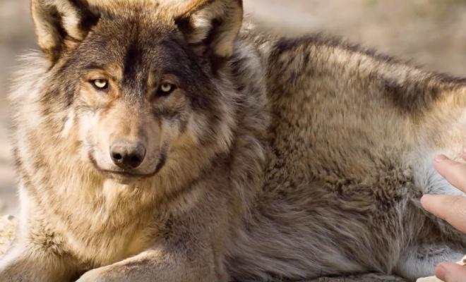 Мужчина пришел на помощь волку, а через год волк вернулся с ответной помощью