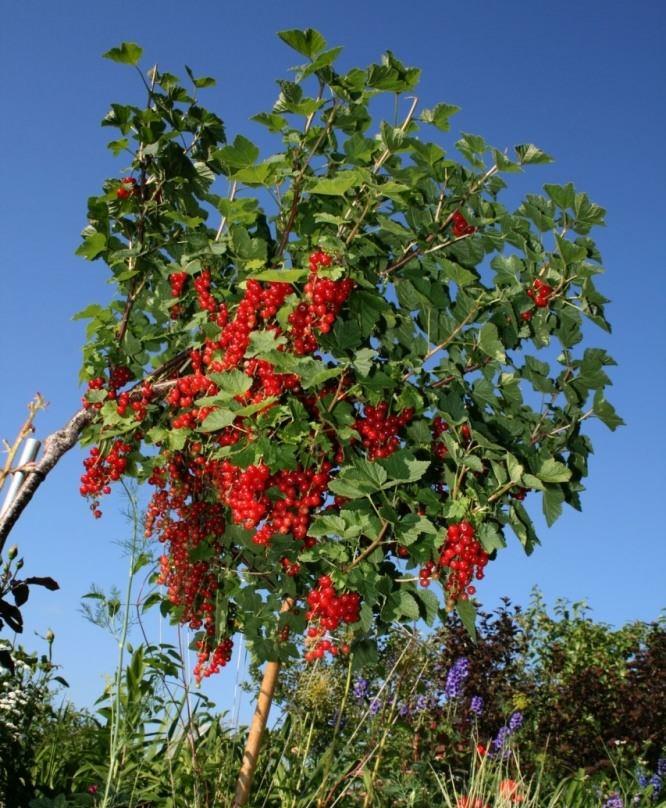 Как превратить куст смородины в дерево