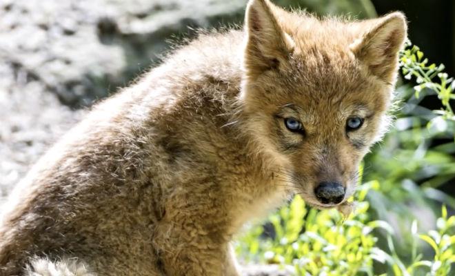 Дедушка спас волчонка в лесу. Через год волк вырос и отплатил добром Культура