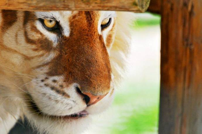 Золотой тигр
