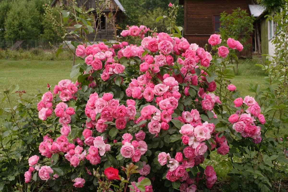 Розы Кордеса: неприхотливость и надежность дача,сад и огород,садоводство