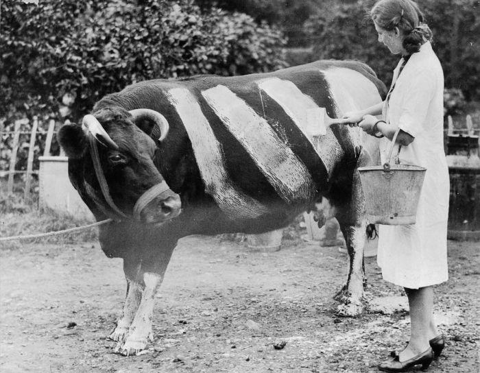 Зачем британцы рисовали белые полосы на коровах во время Второй мировой