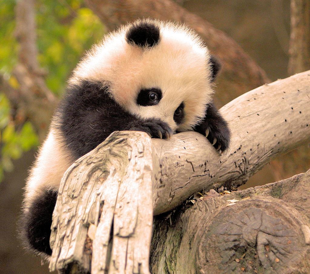 Почему панды на грани вымирания