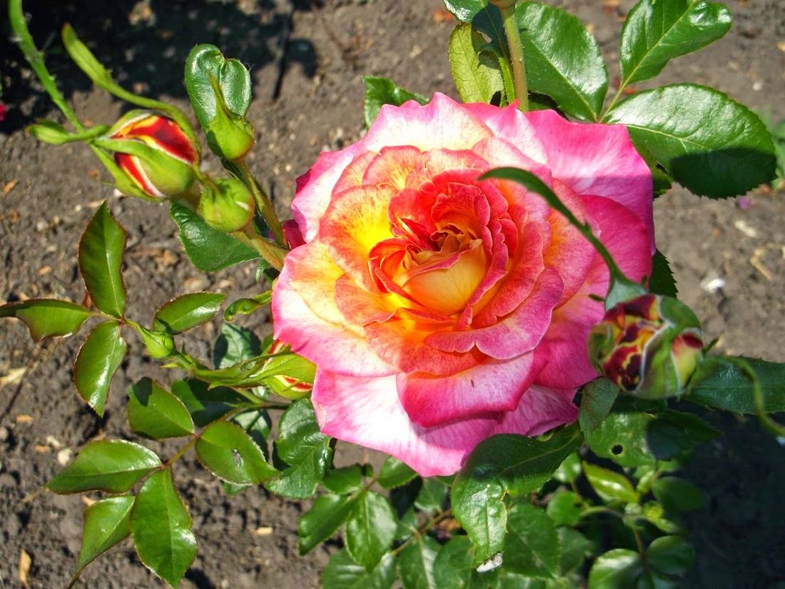 Какой уход нужен розам в мае