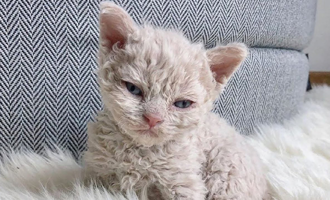 В приюте родился кудрявый котенок. Люди думали, что это временно, но кошка стала первой в новой породе Культура