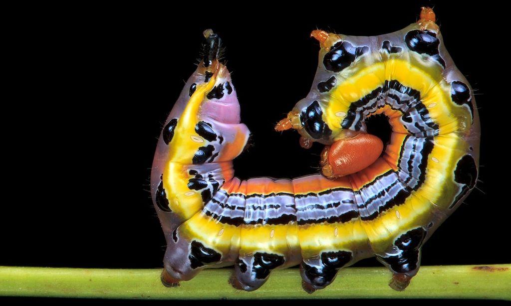 Красочные гусеницы американского фотографа Самуэля Джаффе