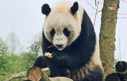 В Китай из США привезли гигантскую панду Бао Бао