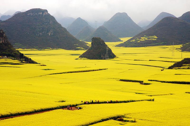 Цветочные поля Канола, Китай красивые места, красота, невероятные места, фото