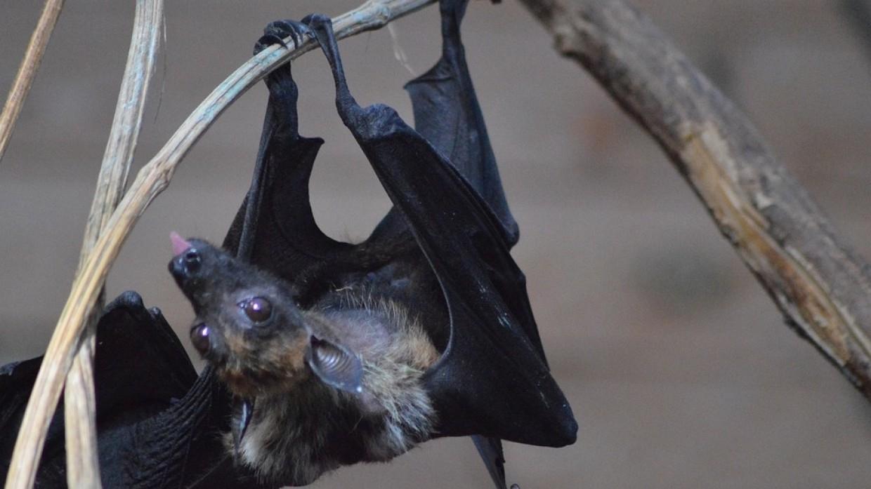 Летучие мыши и крыланы родились в Московском зоопарке Общество