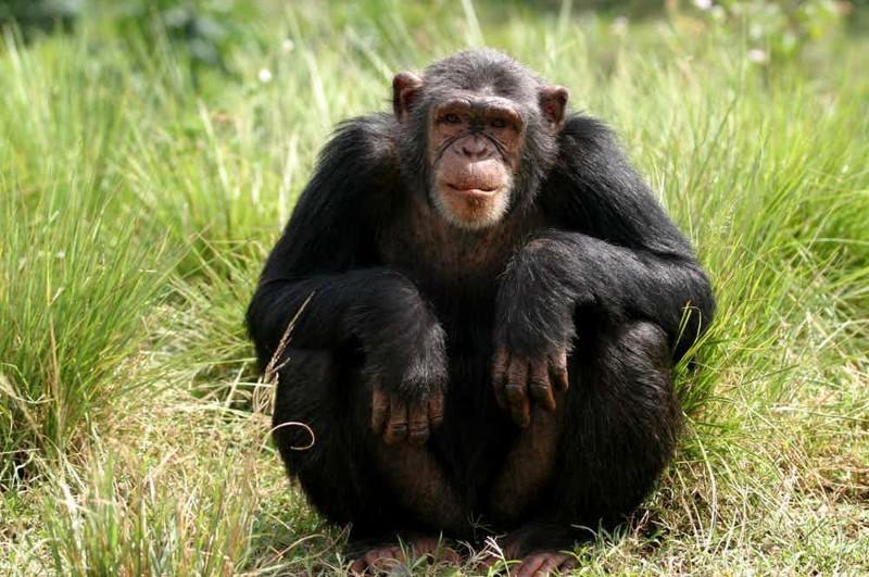 На теле человека волос столько же, сколько на теле шимпанзе интересно, познавательно, тело, факты