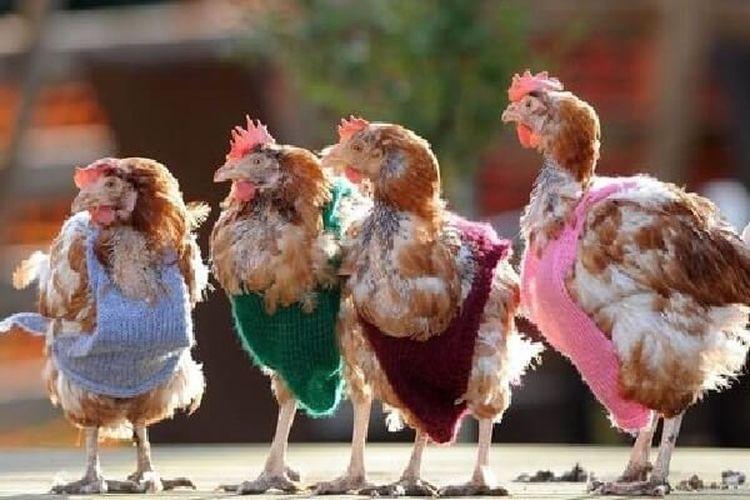 Днем, картинки с курицами прикольные