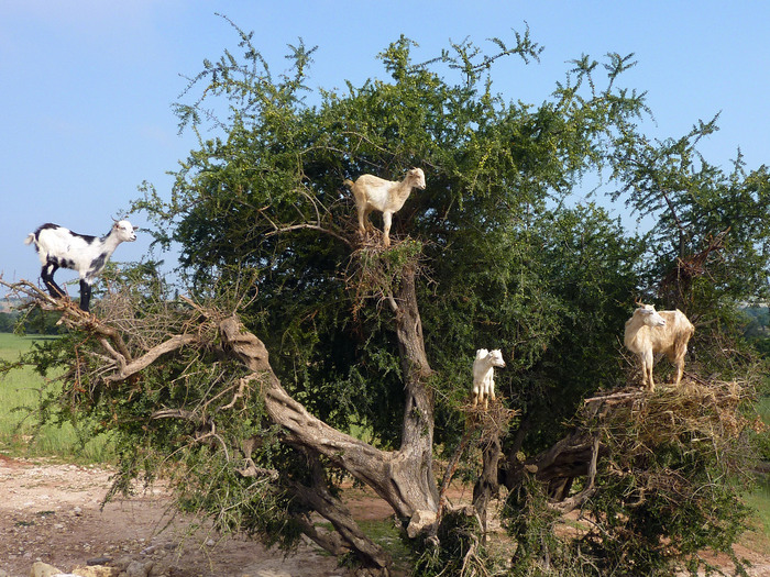 Козы на деревьях