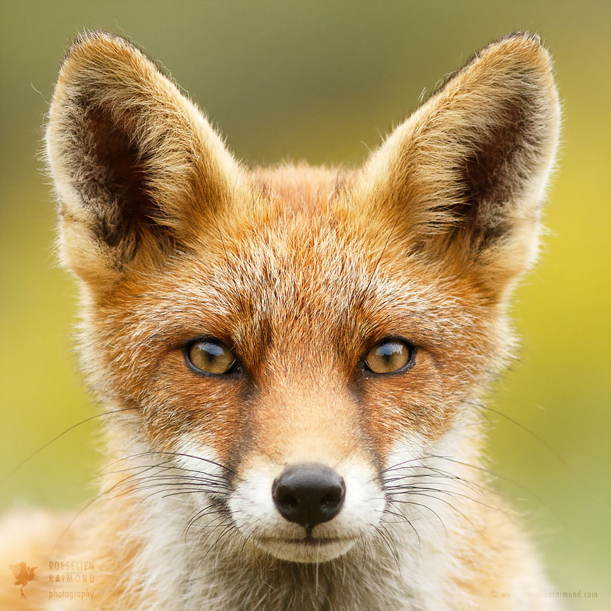 fox-faces-roeselien-raimond-hypno